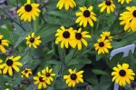 DR-Black-Eyed-Susan-Wildflowers (1)