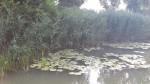Turkey Creek Am Water Lily