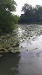Turkey Creek Am Water Lily 2